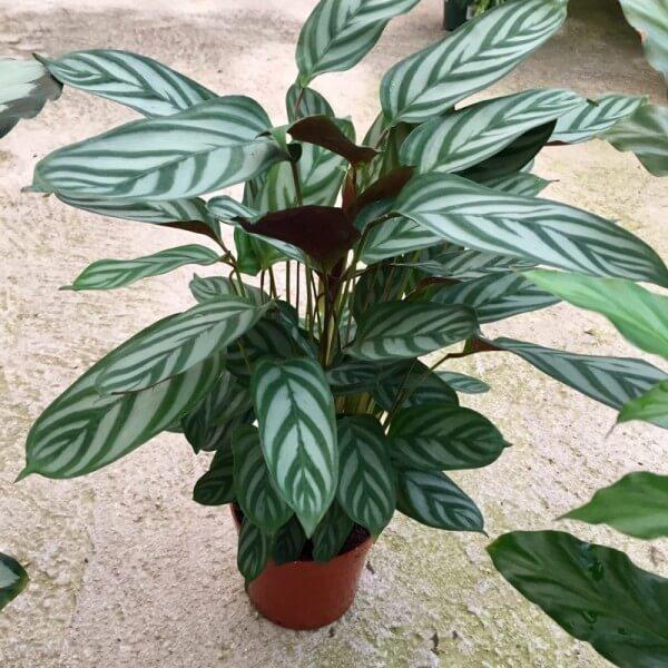 Ctenanthe setosa - Indoor Plants