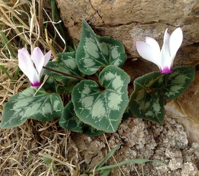 Cyclamen - Flowering plants