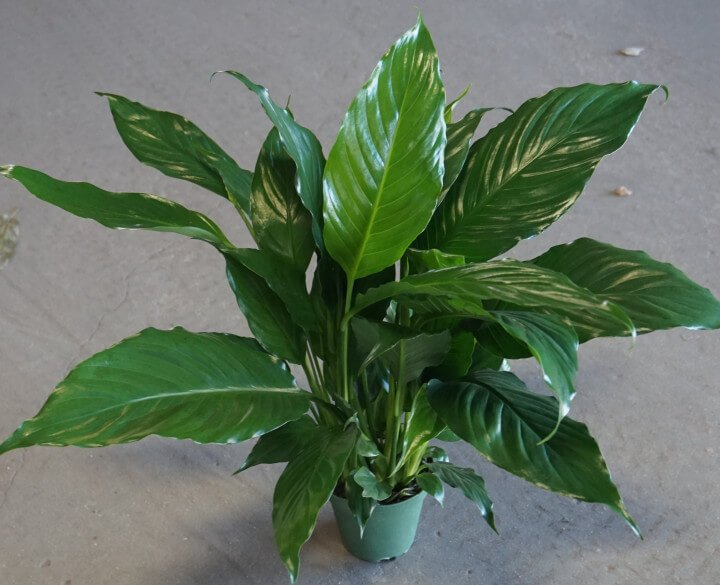 Peace Lily (Spathiphyllum 'Mauna Loa') - Indoor Plants