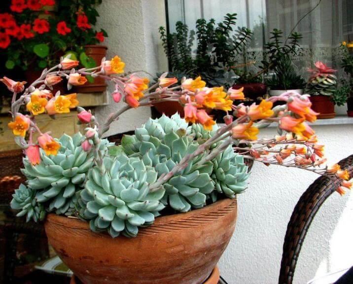 Echeveria 'Alienor' - Succulent plants