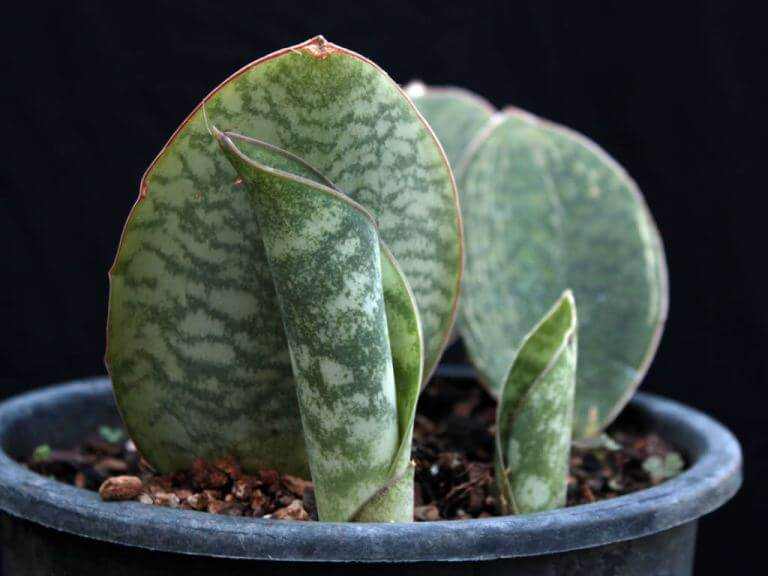 Sansevieria masoniana (Mason Congo) - House Plants