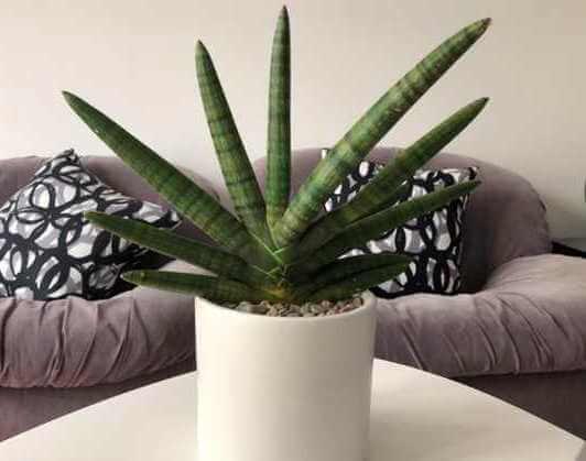 Spear Orchid - Succulent plants