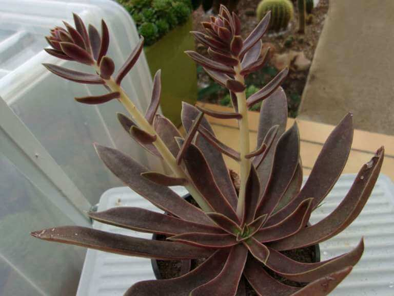 Echeveria 'Brown Sugar' - Succulent plants
