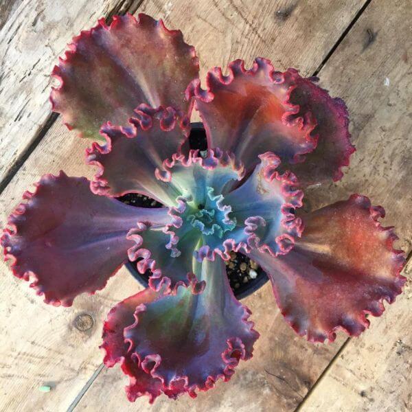 Echeveria 'Crimson Tide' - Succulent plants