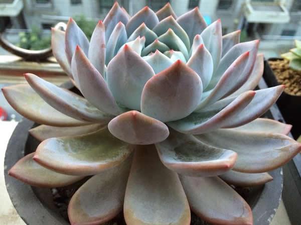 Echeveria 'Laulindsa' - Succulent plants