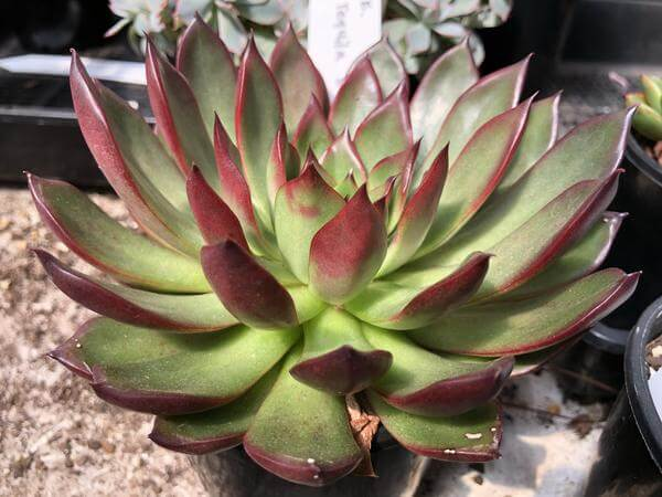 Echeveria 'Margaret Martin' - Succulent plants