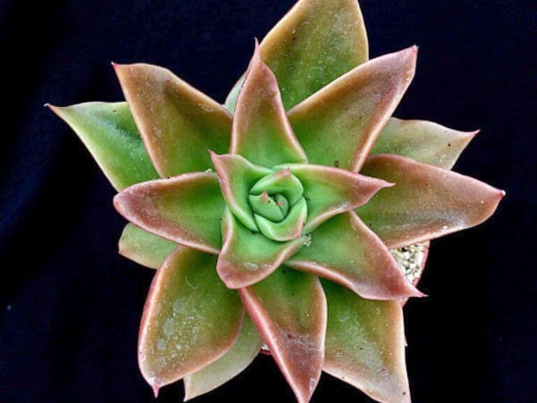 Echeveria 'Mexicano' - Succulent plants