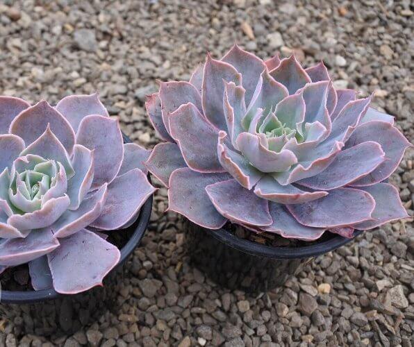 Echeveria 'Morning Light' - Succulent plants