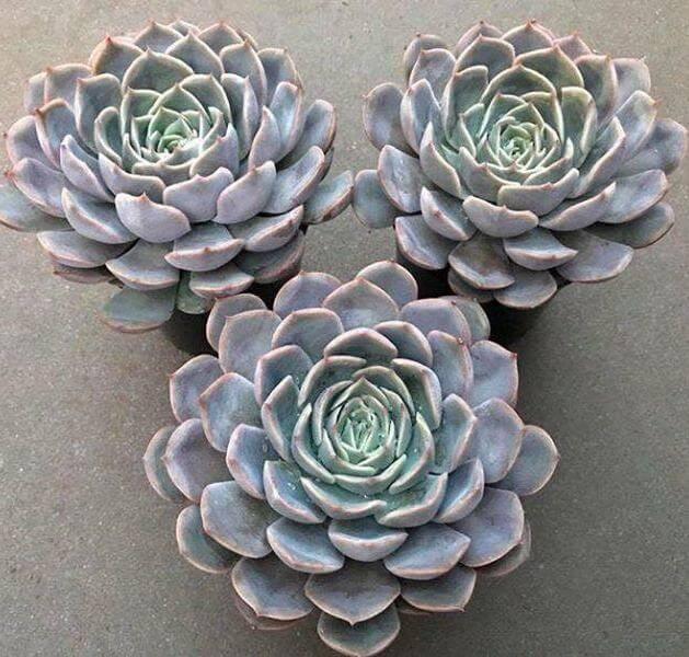 Echeveria 'Orion' - Succulent plants