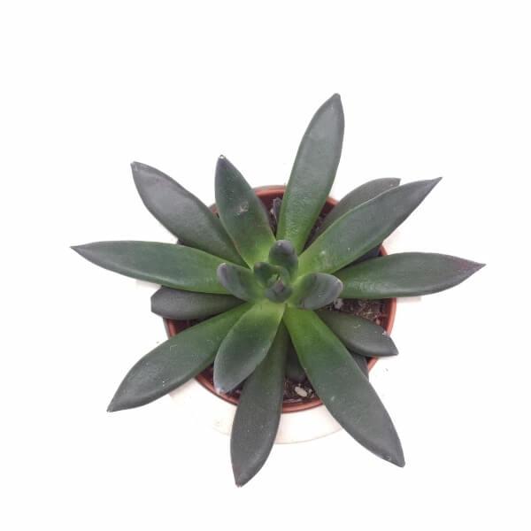 Black Echeveria - Succulent plants