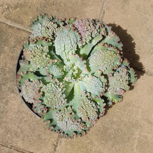 Echeveria 'Sea Dragon' - Succulent plants