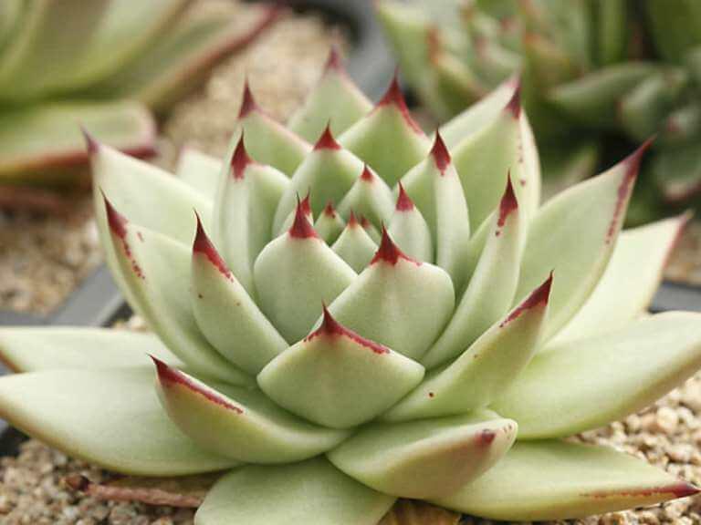Echeveria agavoides 'Maria' - Succulent plants
