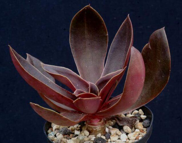 Echeveria atropurpurea - Succulent plants