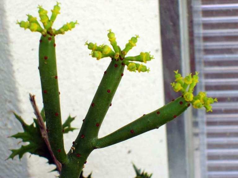 Cat Tails Euphorbia - Succulent plants