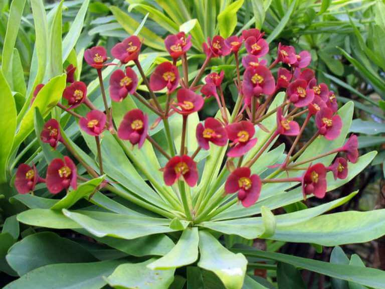 Euphorbia atropurpurea - Succulent plants