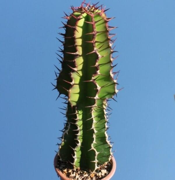 Euphorbia avasmontana - Succulent plants