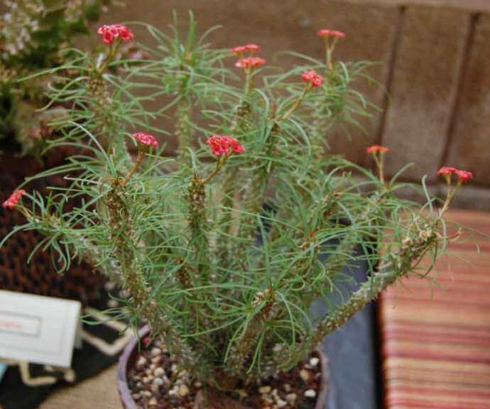 Euphorbia gottlebei - Succulent plants