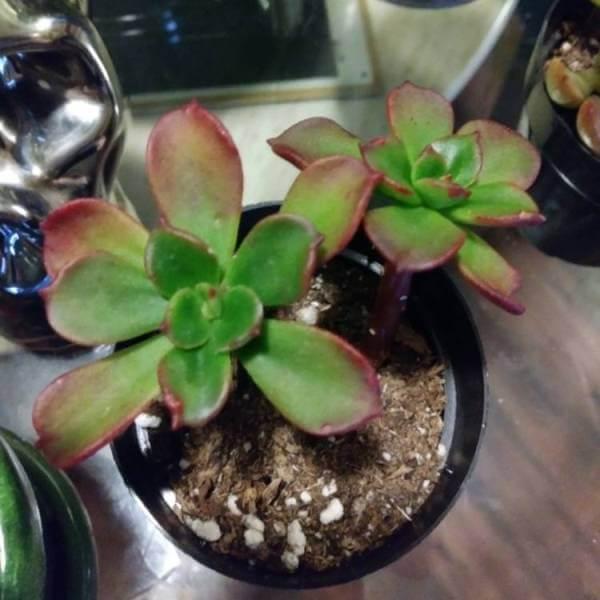 Copper Rose (Echeveria multicaulis) - Succulent plants