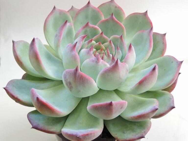Echeveria chihuahuaensis - Succulent plants
