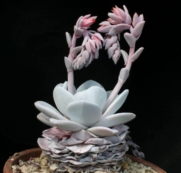 Echeveria laui - Succulent plants