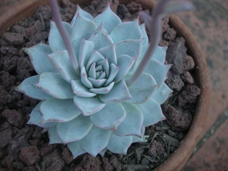Echeveria peacockii - Succulent plants