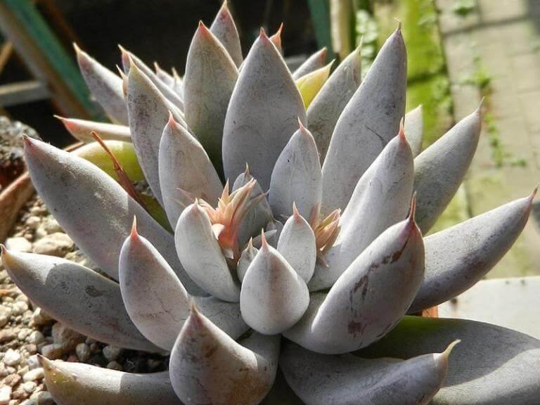 Echeveria tolimanensis - Succulent plants