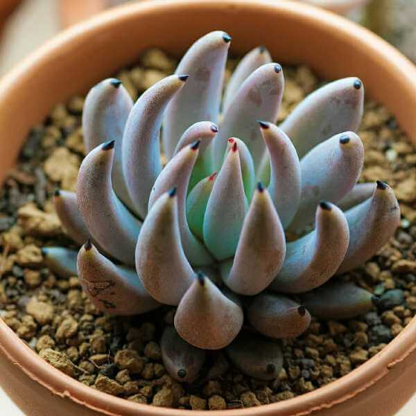 Echeveria unguiculata - Succulent plants