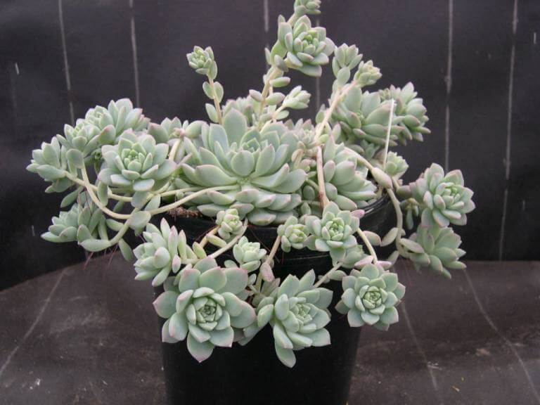 Prolific Echeveria - Succulent plants