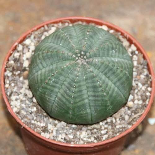 Baseball Plant (Euphorbia obesa)