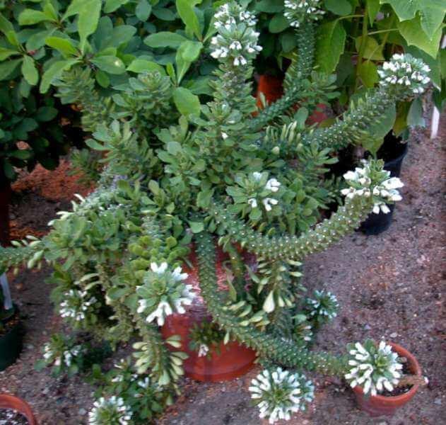 Euphorbia lugardiae - Succulent plants