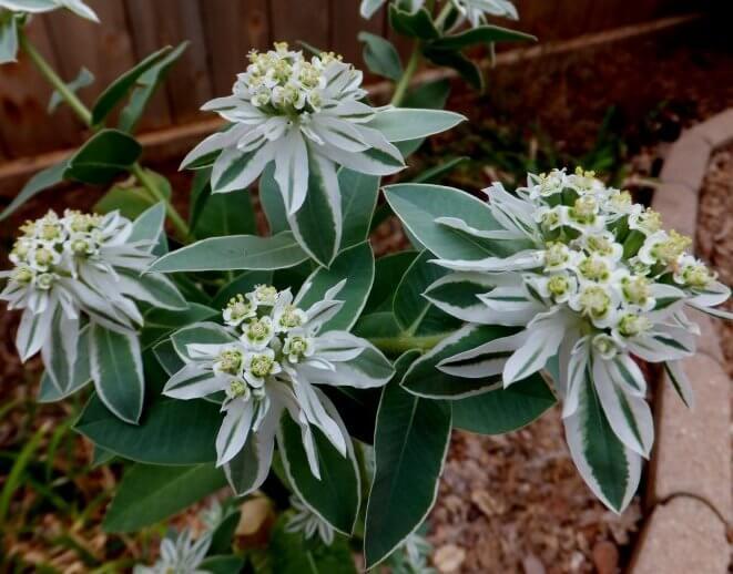 Snow on the Mountain (Euphorbia marginata)