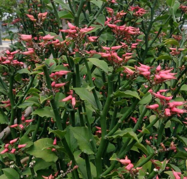 Devil's Backbone (Euphorbia tithymaloides)