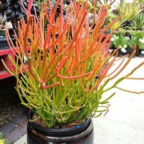 Fire Sticks (Euphorbia tirucalli 'Rosea')