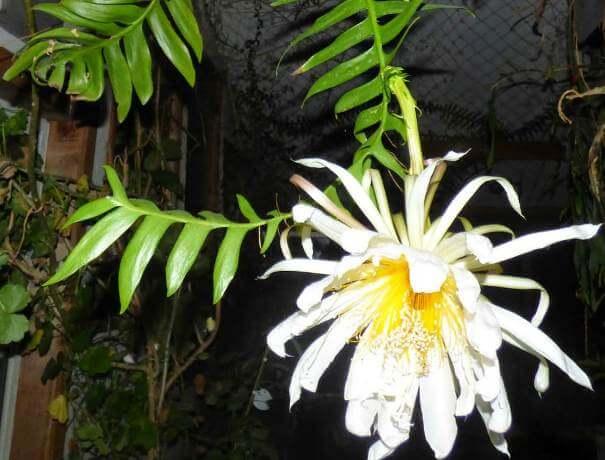 Fernleaf Cactus (Selenicereus chrysocardium)