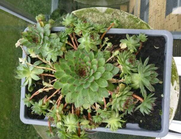 Sempervivum tectorum (Houseleek)