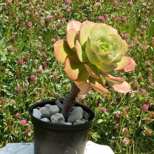Aeonium hierrense (El Hierro Giant Houseleek)