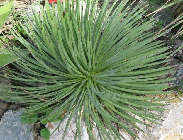 Agave stricta (Hedgehog Agave) - Succulent plants