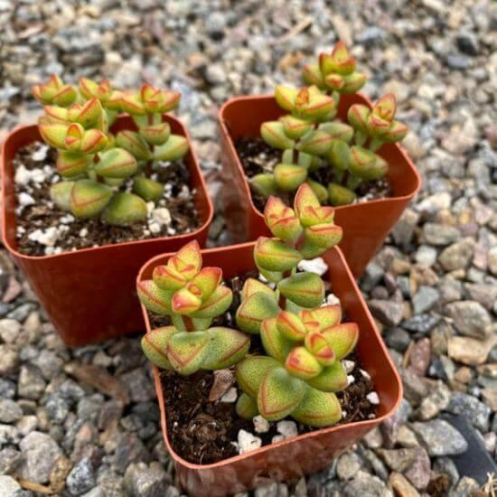 Crassula brevifolia