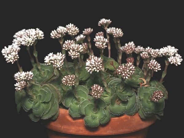 Crassula cremnophila (Miniature Crassula)